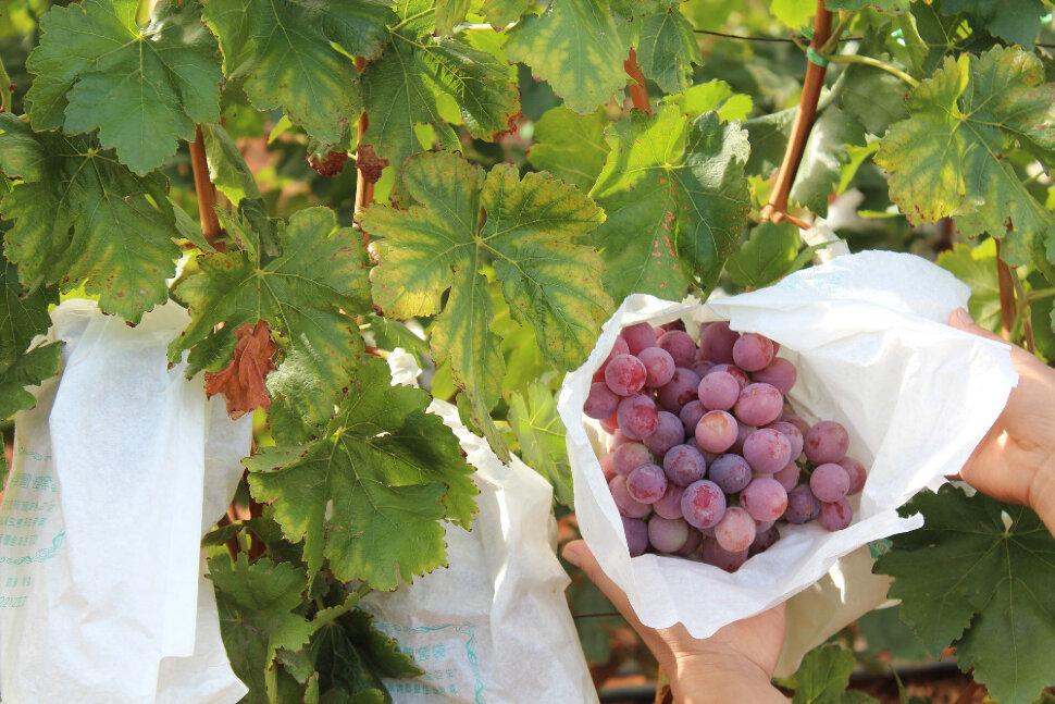 Виноград Кримсон Кримсон сидлис (Crimson Seedless - темно-красный бессемянный (англ.)) - бессемянный сорт винограда, п..